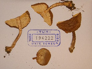 (Cystodermella - TUR194222)  @11 [ ] CreativeCommons - Attribution Non-Commercial Share-Alike (2013) Balint Dima Botanical Museum, Finnish Museum of Natural History, University of Helsinki