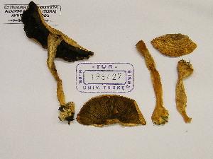 (Agaricus porphyrhizon - TUR198427)  @11 [ ] by-nc-sa - Creative Commons - Attribution Non-Comm Share-Alike (2013) Balint Dima Botanical Museum, Finnish Museum of Natural History, University of Helsinki