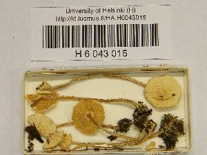 (Lepiota subalba - H6043015)  @11 [ ] CreativeCommons - Attribution Non-Commercial Share-Alike (2013) Balint Dima Botanical Museum, Finnish Museum of Natural History, University of Helsinki