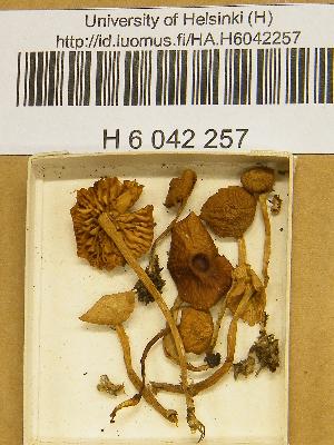 (Galerina allospora - H6042257)  @11 [ ] CreativeCommons - Attribution Non-Commercial Share-Alike (2013) Balint Dima Botanical Museum, Finnish Museum of Natural History, University of Helsinki