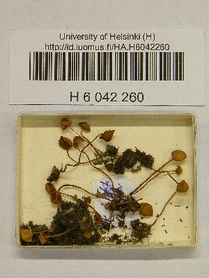 (Galerina hypnorum - H6042260)  @11 [ ] CreativeCommons - Attribution Non-Commercial Share-Alike (2013) Balint Dima Botanical Museum, Finnish Museum of Natural History, University of Helsinki