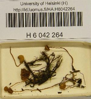 (Galerina cephalotricha - H6042264)  @11 [ ] CreativeCommons - Attribution Non-Commercial Share-Alike (2013) Balint Dima Botanical Museum, Finnish Museum of Natural History, University of Helsinki