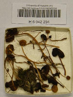 (Galerina pseudocerina - H6042294)  @11 [ ] CreativeCommons - Attribution Non-Commercial Share-Alike (2013) Balint Dima Botanical Museum, Finnish Museum of Natural History, University of Helsinki