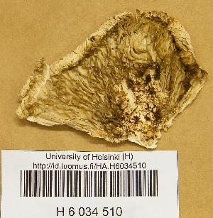 (Macrolepiota - H6034510)  @11 [ ] CreativeCommons - Attribution Non-Commercial Share-Alike (2013) Balint Dima Botanical Museum, Finnish Museum of Natural History, University of Helsinki