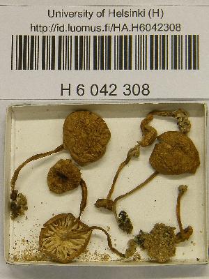 (Pseudoomphalina - H6042308)  @11 [ ] CreativeCommons - Attribution Non-Commercial Share-Alike (2013) Balint Dima Botanical Museum, Finnish Museum of Natural History, University of Helsinki