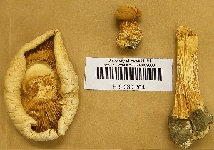 (Phaeolepiota - H6030604)  @11 [ ] CreativeCommons - Attribution Non-Commercial Share-Alike (2013) Balint Dima Botanical Museum, Finnish Museum of Natural History, University of Helsinki