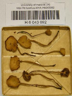 (Galerina jaapii - H6043092)  @11 [ ] CreativeCommons - Attribution Non-Commercial Share-Alike (2013) Balint Dima Botanical Museum, Finnish Museum of Natural History, University of Helsinki