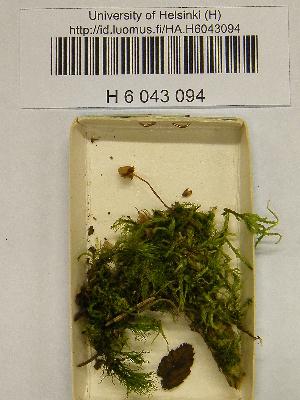 (Galerina atkinsoniana - H6043094)  @11 [ ] CreativeCommons - Attribution Non-Commercial Share-Alike (2013) Balint Dima Botanical Museum, Finnish Museum of Natural History, University of Helsinki