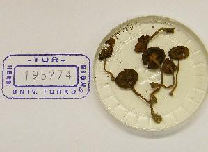 (Inocybe sp. Tardae - TUR195774)  @11 [ ] CreativeCommons - Attribution Non-Commercial Share-Alike (2013) Balint Dima Botanical Museum, Finnish Museum of Natural History, University of Helsinki