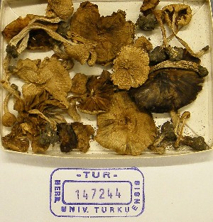 (Inocybe queletii - TUR147244)  @11 [ ] CreativeCommons - Attribution Non-Commercial Share-Alike (2013) Balint Dima Botanical Museum, Finnish Museum of Natural History, University of Helsinki
