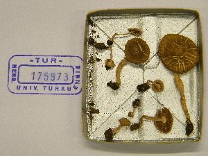 (Inocybe griseolilacina - TUR175973)  @11 [ ] CreativeCommons - Attribution Non-Commercial Share-Alike (2013) Balint Dima Botanical Museum, Finnish Museum of Natural History, University of Helsinki