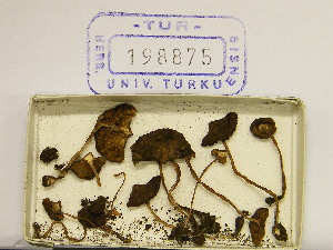(Inocybe sp. Cortinatae - TUR198875)  @11 [ ] CreativeCommons - Attribution Non-Commercial Share-Alike (2013) Balint Dima Botanical Museum, Finnish Museum of Natural History, University of Helsinki