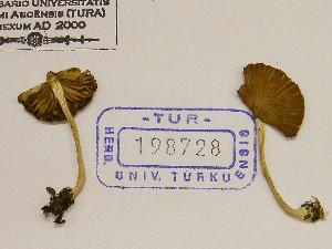 (Inocybe sp. Splendentes - TUR198728)  @11 [ ] CreativeCommons - Attribution Non-Commercial Share-Alike (2013) Balint Dima Botanical Museum, Finnish Museum of Natural History, University of Helsinki
