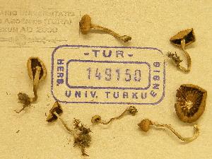 (Inocybe dulcamara - TUR149150)  @11 [ ] CreativeCommons - Attribution Non-Commercial Share-Alike (2013) Balint Dima Botanical Museum, Finnish Museum of Natural History, University of Helsinki