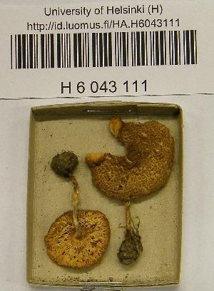 (Lepiota cf. pseudolilacea - H6043111)  @11 [ ] by-nc-sa - Creative Commons - Attribution Non-Comm Share-Alike (2013) Balint Dima Botanical Museum, Finnish Museum of Natural History, University of Helsinki