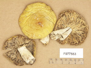 (Russula sp - F077553)  @11 [ ] Copyright (c) (2014) Unspecified Botanical Museum, Finnish Museum of Natural History, University of Helsinki