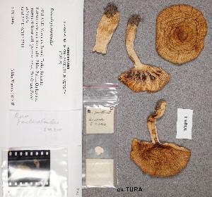 (Russula pectinatoides - TUR176478)  @11 [ ] CreativeCommons - Attribution Non-Commercial (2012) Anna L. Ruotsalainen University of Oulu