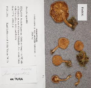 (Inocybe agardhii - TUR176544)  @11 [ ] CreativeCommons - Attribution Non-Commercial (2012) Anna L. Ruotsalainen University of Oulu