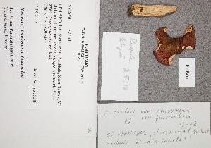 (Russula cf. torulosa var. fuscorubra - TUR179550)  @11 [ ] CreativeCommons - Attribution Non-Commercial (2012) Anna L. Ruotsalainen University of Oulu