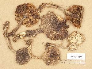 (Tricholoma olivaceotinctum - H6001169)  @11 [ ] Copyright (2013) Diana Weckman Botanical Museum, Finnish Museum of Natural History, University of Helsinki