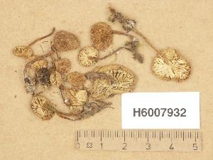 (Pseudoomphalina - H6007932)  @11 [ ] Copyright (2013) Diana Weckman Botanical Museum, Finnish Museum of Natural History, University of Helsinki