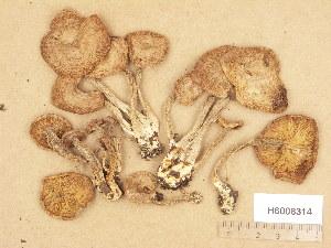 (Lepista - H6008314)  @11 [ ] Copyright (2013) Diana Weckman Botanical Museum, Finnish Museum of Natural History, University of Helsinki