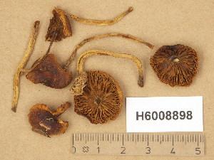 (Pholiota subochracea - H6008898)  @11 [ ] Copyright (2014) Diana Weckman Botanical Museum, Finnish Museum of Natural History, University of Helsinki