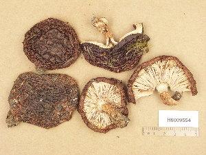 (Tricholoma batschii - H6009554)  @11 [ ] Copyright (2013) Diana Weckman Botanical Museum, Finnish Museum of Natural History, University of Helsinki