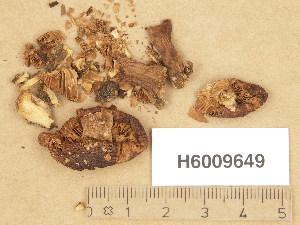 (Tricholoma cf. inodermeum - H6009649)  @11 [ ] Copyright (2013) Diana Weckman Botanical Museum, Finnish Museum of Natural History, University of Helsinki