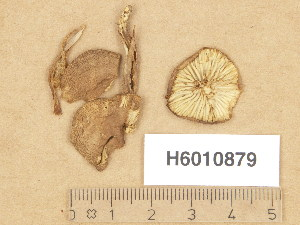 (Agaricales_incertae_sedis - H6010879)  @11 [ ] Copyright (2013) Diana Weckman Botanical Museum, Finnish Museum of Natural History, University of Helsinki