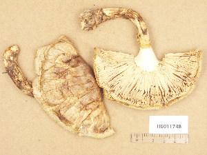 (Tricholoma matsutake - H6011748)  @11 [ ] Copyright (2013) Diana Weckman Botanical Museum, Finnish Museum of Natural History, University of Helsinki