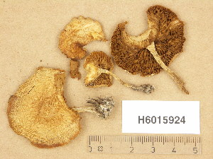 (Agrocybe praecox - H6015924)  @11 [ ] Copyright (2013) Diana Weckman Botanical Museum, Finnish Museum of Natural History, University of Helsinki