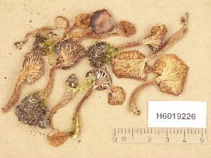 (Pseudoomphalina - H6019226)  @11 [ ] Copyright (2013) Diana Weckman Botanical Museum, Finnish Museum of Natural History, University of Helsinki