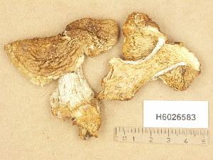 (Tricholoma apium - H6026583)  @11 [ ] Copyright (2013) Diana Weckman Botanical Museum, Finnish Museum of Natural History, University of Helsinki
