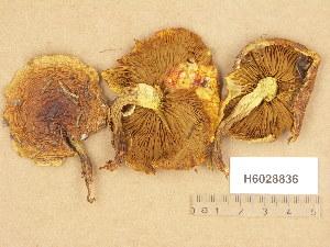 (Pholiota astragalina - H6028836)  @11 [ ] Copyright (2013) Diana Weckman Botanical Museum, Finnish Museum of Natural History, University of Helsinki