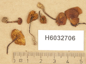 (Gymnopilus cf. picreus - H6032706)  @11 [ ] Copyright (2012) Diana Weckman Botanical Museum, Finnish Museum of Natural History, University of Helsinki
