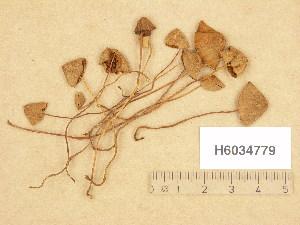 (Conocybe juniana - H6034779)  @11 [ ] Copyright (2013) Diana Weckman Botanical Museum, Finnish Museum of Natural History, University of Helsinki