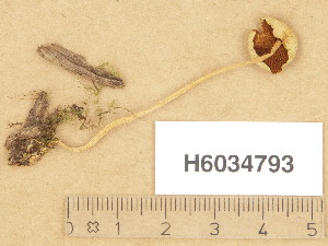(Conocybe apala - H6034793)  @11 [ ] Copyright (2013) Diana Weckman Botanical Museum, Finnish Museum of Natural History, University of Helsinki