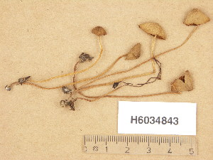 (Conocybe aff. velutipes - H6034843)  @11 [ ] Copyright (2013) Diana Weckman Botanical Museum, Finnish Museum of Natural History, University of Helsinki