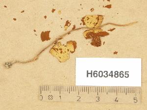 (Conocybe tenera - H6034865)  @11 [ ] Copyright (2013) Diana Weckman Botanical Museum, Finnish Museum of Natural History, University of Helsinki
