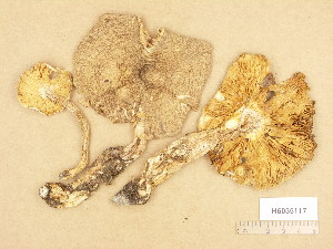 (Tricholoma arvernense - H6035117)  @11 [ ] Copyright (2013) Diana Weckman Botanical Museum, Finnish Museum of Natural History, University of Helsinki