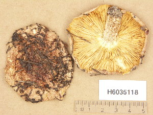 (Tricholoma stans - H6035118)  @11 [ ] Copyright (2013) Diana Weckman Botanical Museum, Finnish Museum of Natural History, University of Helsinki
