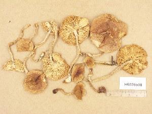 (Hebeloma cf. velutipes - H6035508)  @11 [ ] Copyright (2013) Diana Weckman Botanical Museum, Finnish Museum of Natural History, University of Helsinki