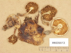 (Hebeloma gigaspermum - H6035513)  @11 [ ] Copyright (2013) Diana Weckman Botanical Museum, Finnish Museum of Natural History, University of Helsinki