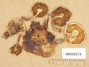 (Hebeloma gigaspermum - H6035513)  @11 [ ] Copyright (2013) Diana Weckman Botanical Museum, Finnish Museum of Natural History, University of Helsinki