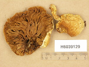 (Pholiota heteroclita - H6039129)  @11 [ ] Copyright (2013) Diana Weckman Botanical Museum, Finnish Museum of Natural History, University of Helsinki