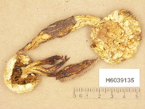 (Pholiota heteroclita - H6039135)  @11 [ ] Copyright (2013) Diana Weckman Botanical Museum, Finnish Museum of Natural History, University of Helsinki