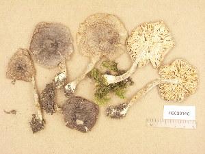 (Tricholoma cf. myomyces - H6039166)  @11 [ ] Copyright (2013) Diana Weckman Botanical Museum, Finnish Museum of Natural History, University of Helsinki