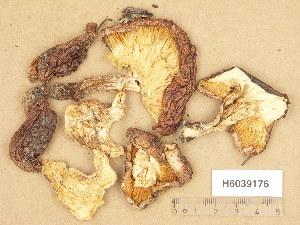 (Tricholoma pessundatum - H6039176)  @11 [ ] Copyright (2013) Diana Weckman Botanical Museum, Finnish Museum of Natural History, University of Helsinki