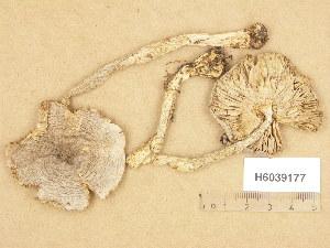 (Tricholoma virgatum - H6039177)  @11 [ ] Copyright (2013) Diana Weckman Botanical Museum, Finnish Museum of Natural History, University of Helsinki